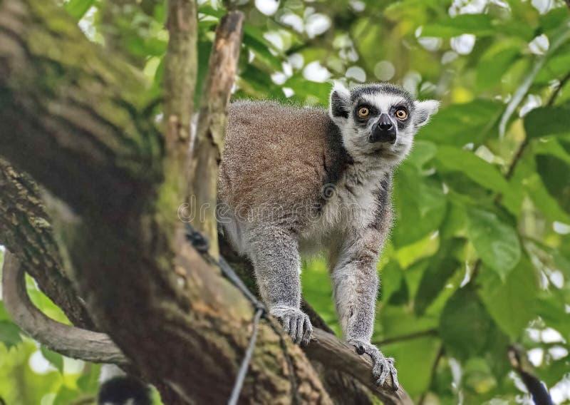 """lémur Anillo-atado, o lémur del gato, o †del catta de Katta Lemur"""" la especie más famosa de la familia del lémur foto de archivo"""