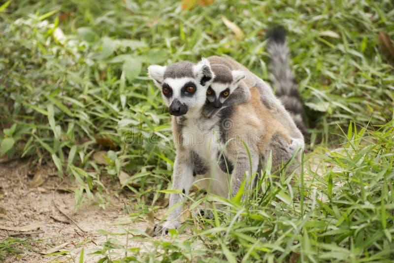 lémur Anneau-coupé la queue avec le petit bébé photo libre de droits