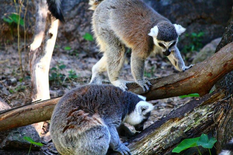 lémur Anneau-coupé la queue, catta de lémur image libre de droits