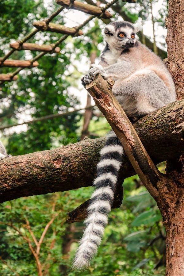 lémur Anneau-coupé la queue détendant sur un rondin photos libres de droits