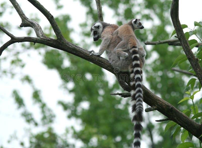 lémur Anneau-coupé la queue de mère ramenant son bébé sur elle photo stock