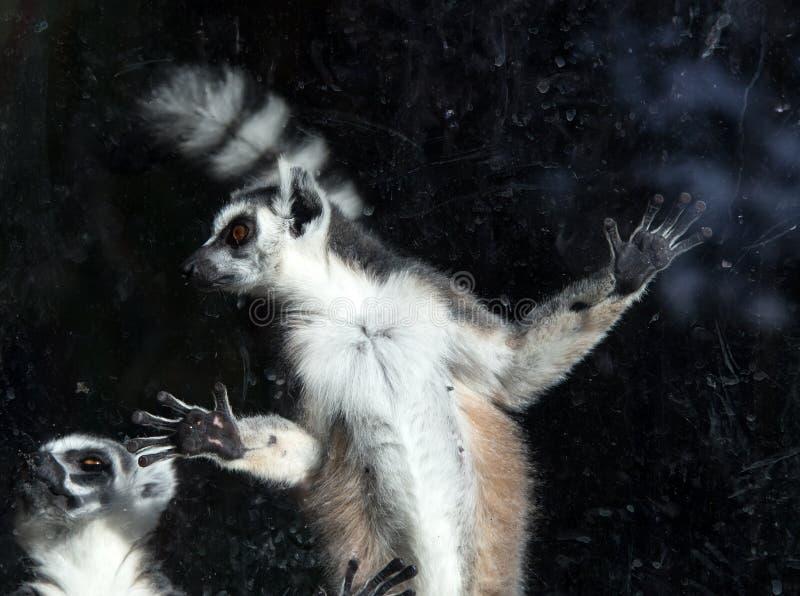 lémur Anneau-coupé la queue (lémur Catta) derrière un zoo en verre de volière photo libre de droits
