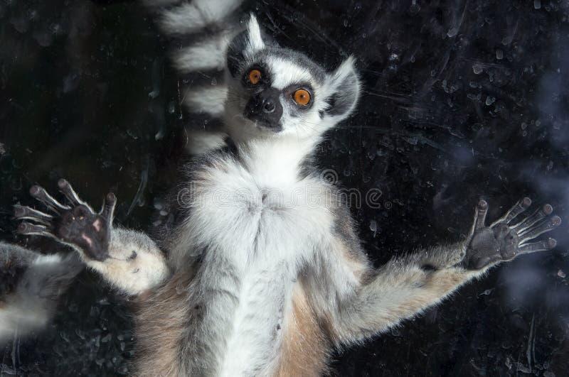 lémur Anneau-coupé la queue (lémur Catta) derrière un zoo en verre de volière photographie stock