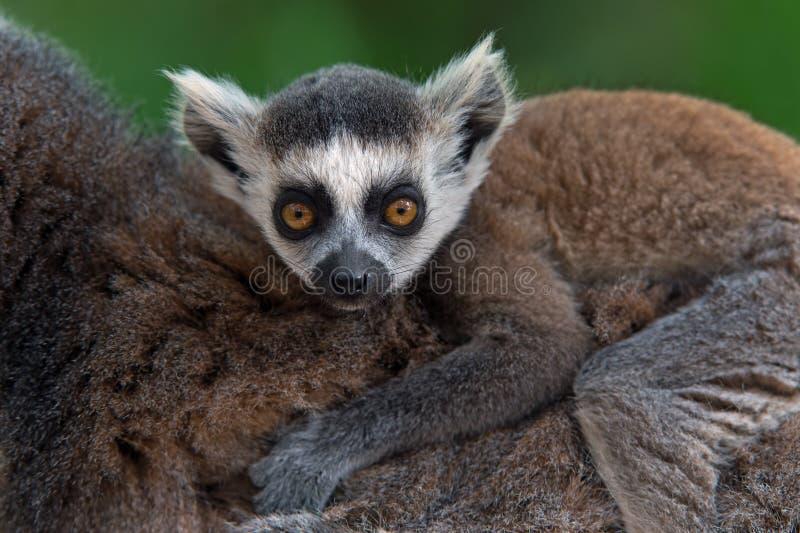 Lémur Anneau-coupé la queue par bébé (lémur Catta) photographie stock libre de droits