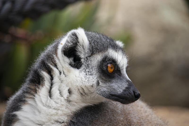 lémur Anneau-coupé la queue regardant à son côté photo libre de droits