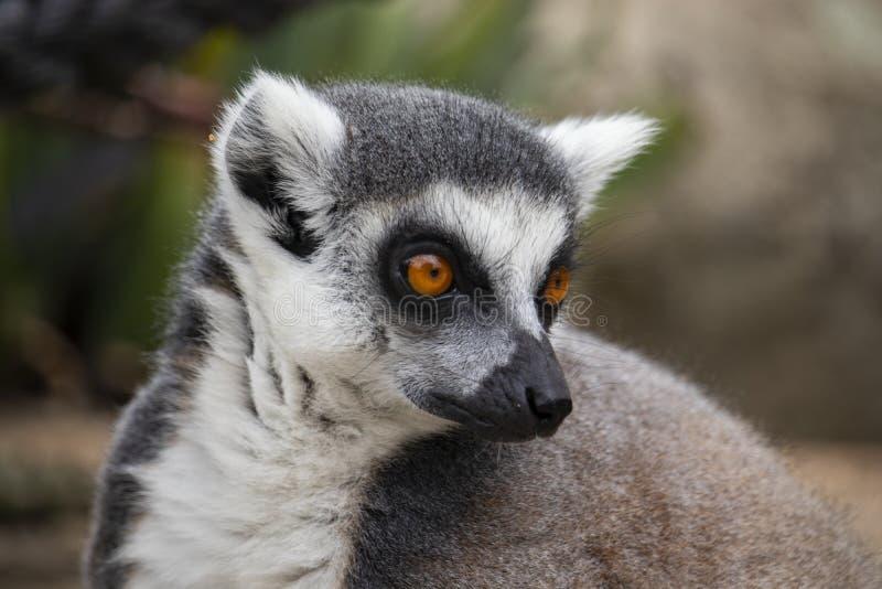 lémur Anneau-coupé la queue regardant à son côté photographie stock libre de droits