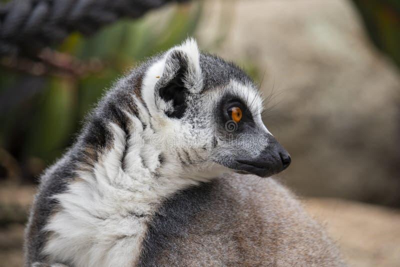 lémur Anneau-coupé la queue regardant à son côté photos libres de droits