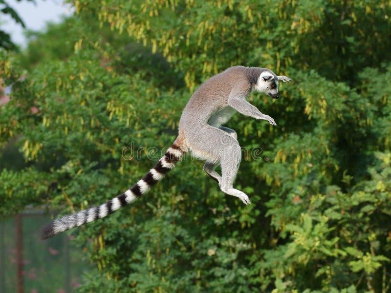 Lémur anneau-coupé la queue sautant image stock