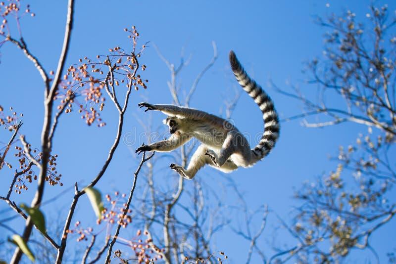 lémur Anneau-coupé la queue sautant de la branche à la branche photo libre de droits
