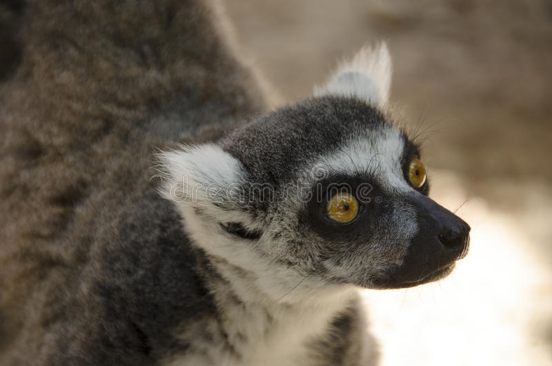 Lémur atado anillo, catta del lémur imágenes de archivo libres de regalías