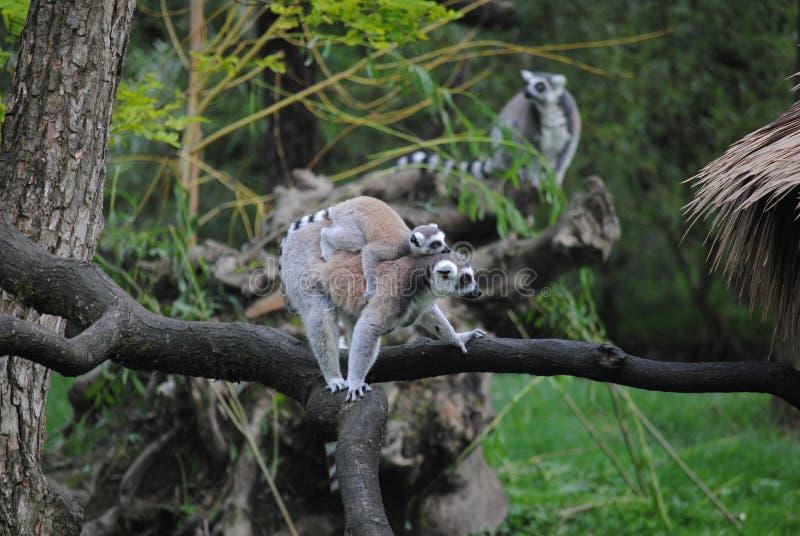 Lémur avec le bébé mignon image libre de droits