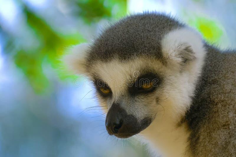 Lémur cercano para arriba en Madagascar fotografía de archivo
