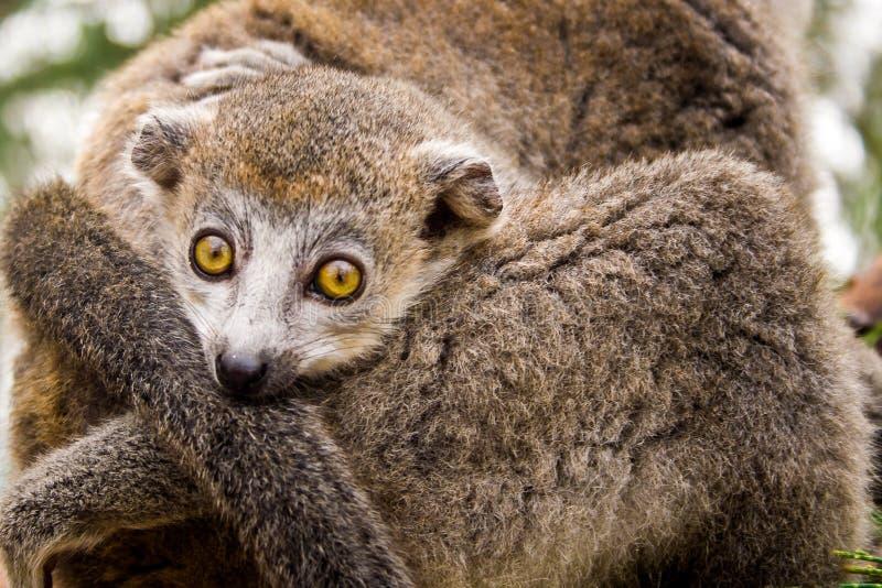 Lémur coronado fotografía de archivo