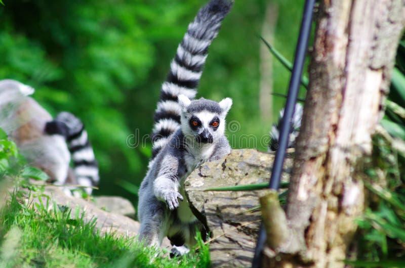 Lémur coupé la queue par anneau photographie stock libre de droits