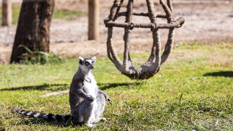 Lémur coupé la queue par anneau images libres de droits