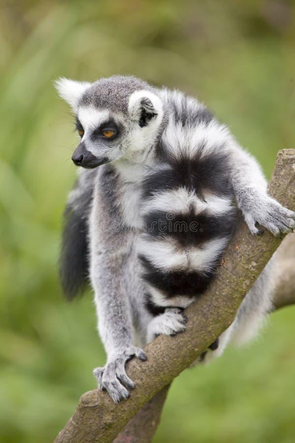 Lémur coupé la queue par anneau photos stock