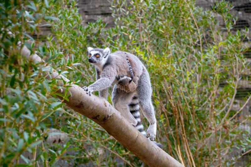 Lémur coupé la queue par anneau avec son nouveau bébé image libre de droits