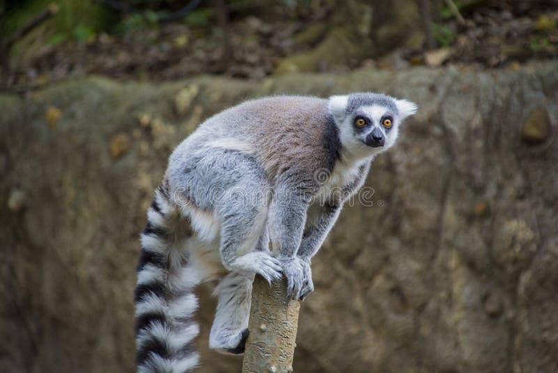 Lémur coupé la queue par anneau sur un tronc d'arbre images stock
