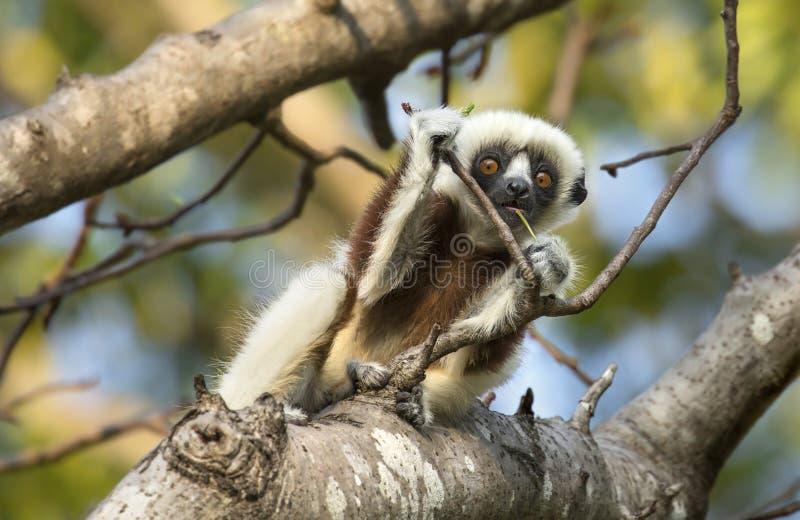 Lémur curieux de Sifaka de bébé photos libres de droits
