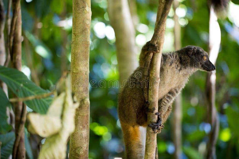 Lémur de pecho blanco femenino, albifrons de Eulemur, mirando al fotógrafo, Mangabe entrometido, Madagascar fotos de archivo libres de regalías