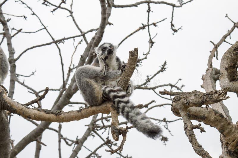 Lémur de pensamiento divertido en el árbol imagenes de archivo