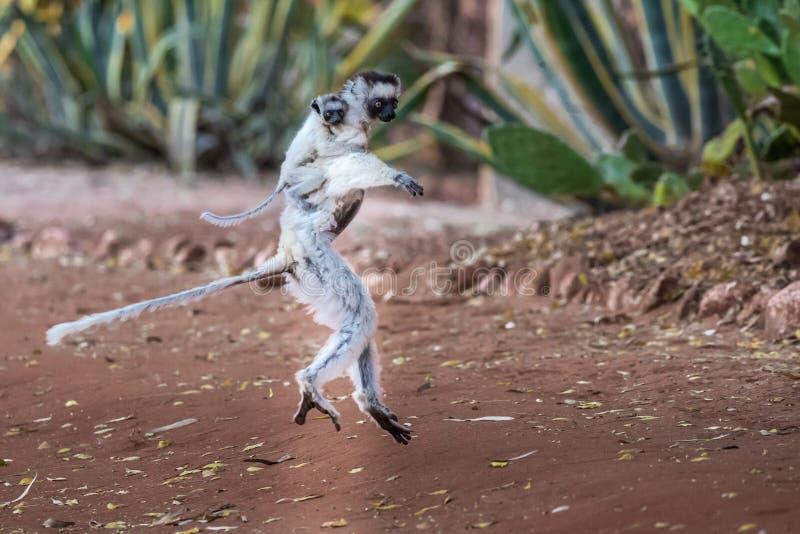 Lémur de Sifaka de Verreaux de danse photos stock