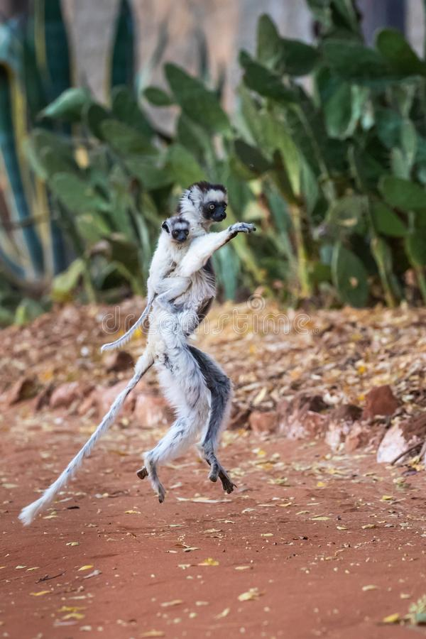Lémur de Sifaka de Verreaux de danse image libre de droits