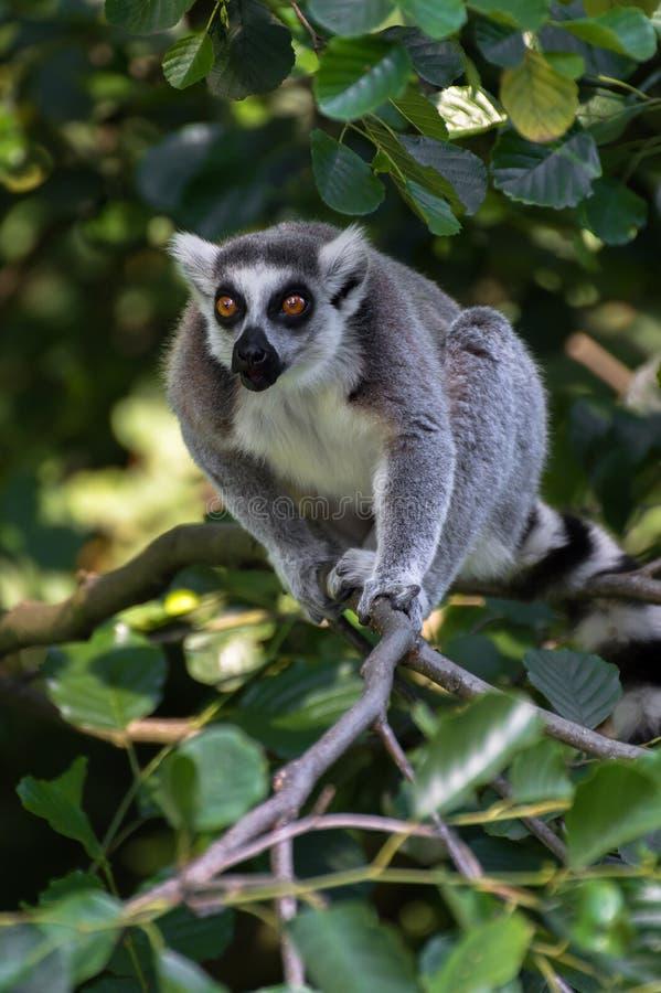 Lémur divertido con los ojos grandes en árbol imagenes de archivo