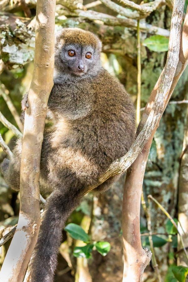 Lémur en bambou images libres de droits