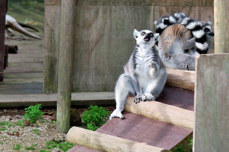 Lémur en captivité images libres de droits
