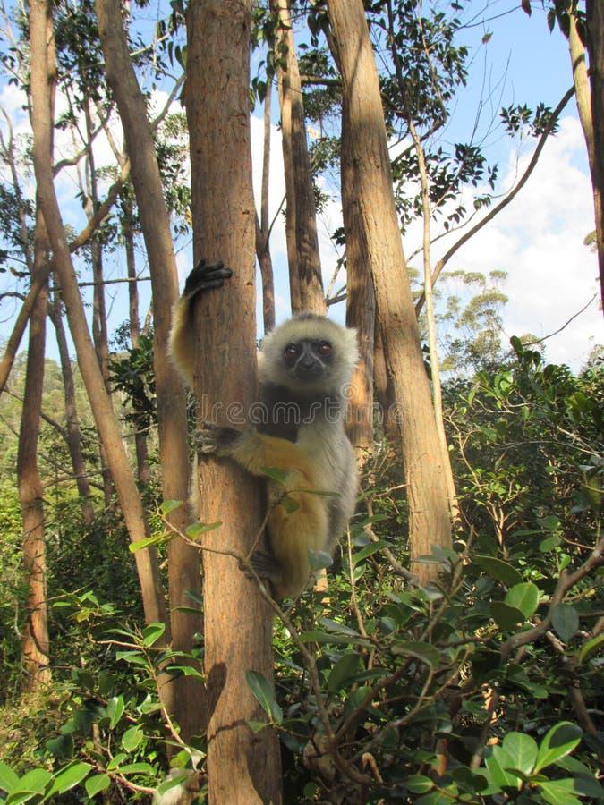 Lémur en el árbol 2 fotografía de archivo libre de regalías