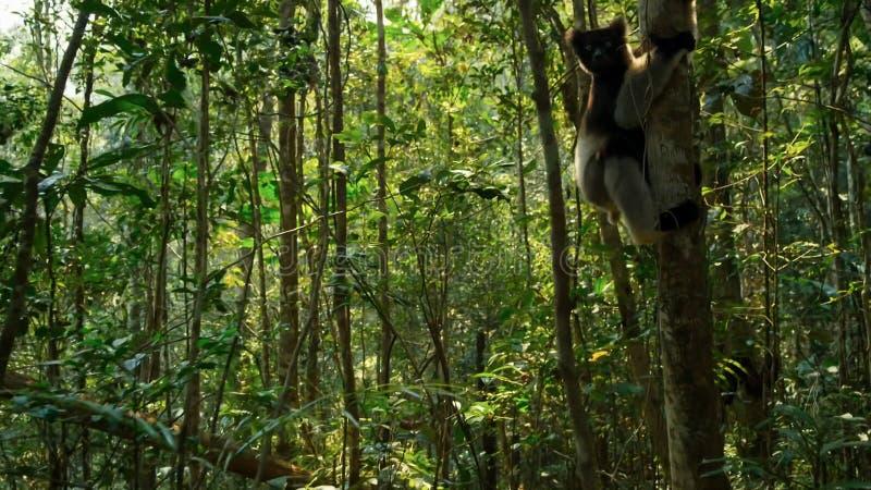Lémur endémique d'indri dans l'habitat naturel a également appelé le babakoto image libre de droits