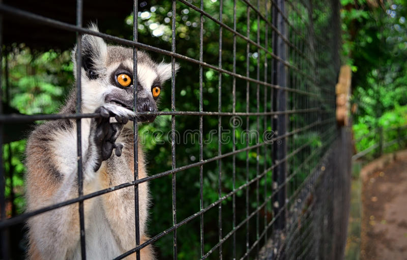 Lémur enjaulado foto de archivo