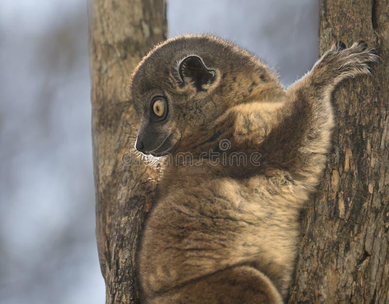 Lémur folâtre photographie stock libre de droits