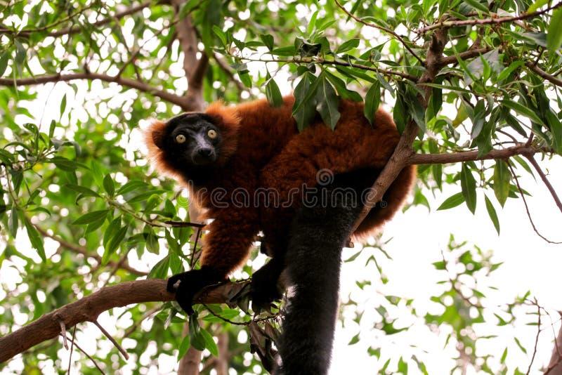 Lémur marrón agarrado en el árbol que mira el ambiente fotografía de archivo