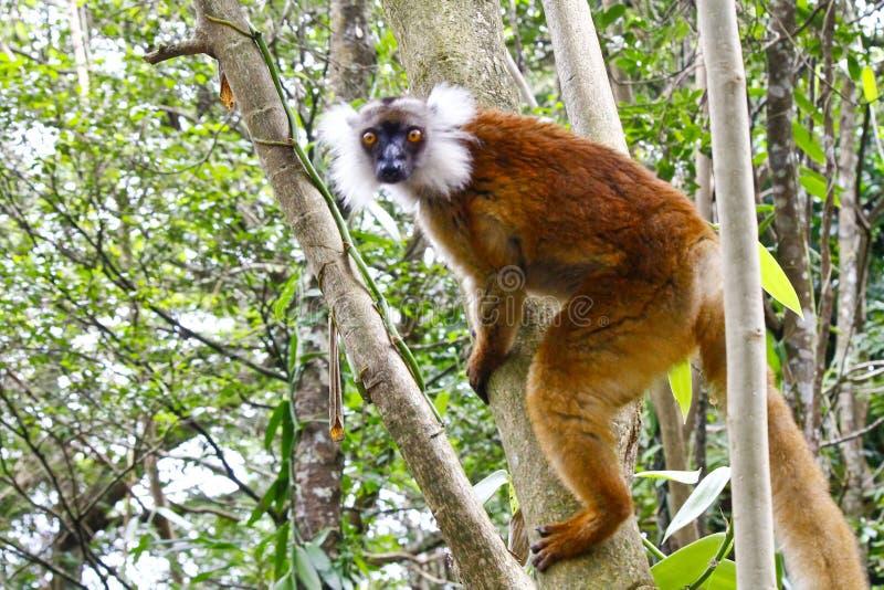 Lémur negro femenino, macaco del macaco de Eulemur, Madagascar imagen de archivo libre de regalías