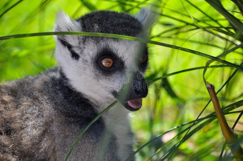 Lémur que busca la comida foto de archivo