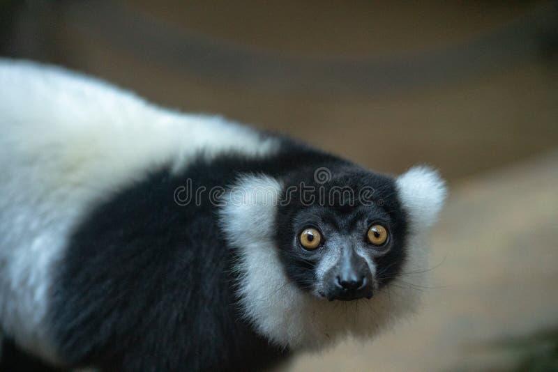 Lémur que mira la cámara el parque zoológico imagen de archivo