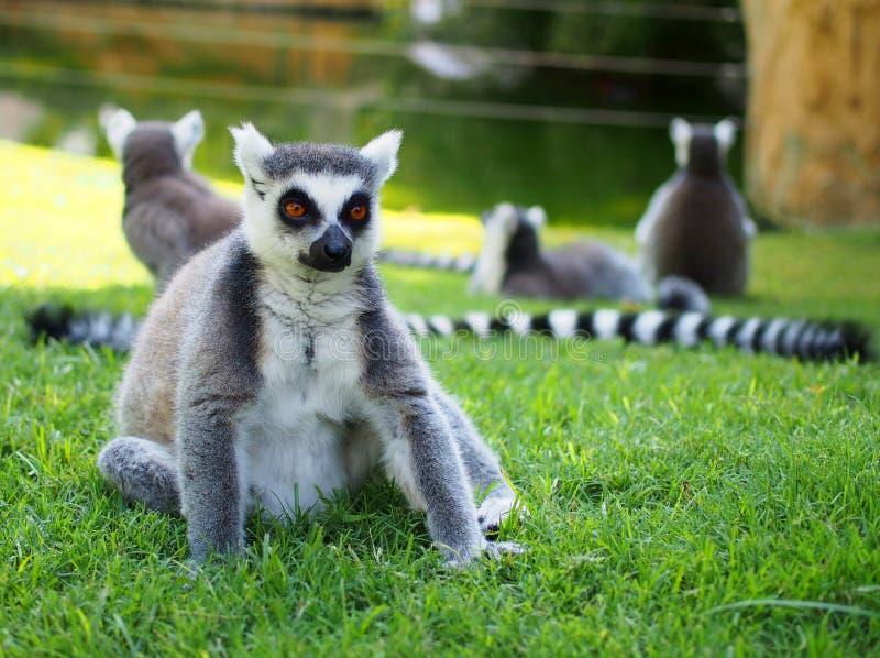 Lémur que se sienta en la hierba fotos de archivo libres de regalías