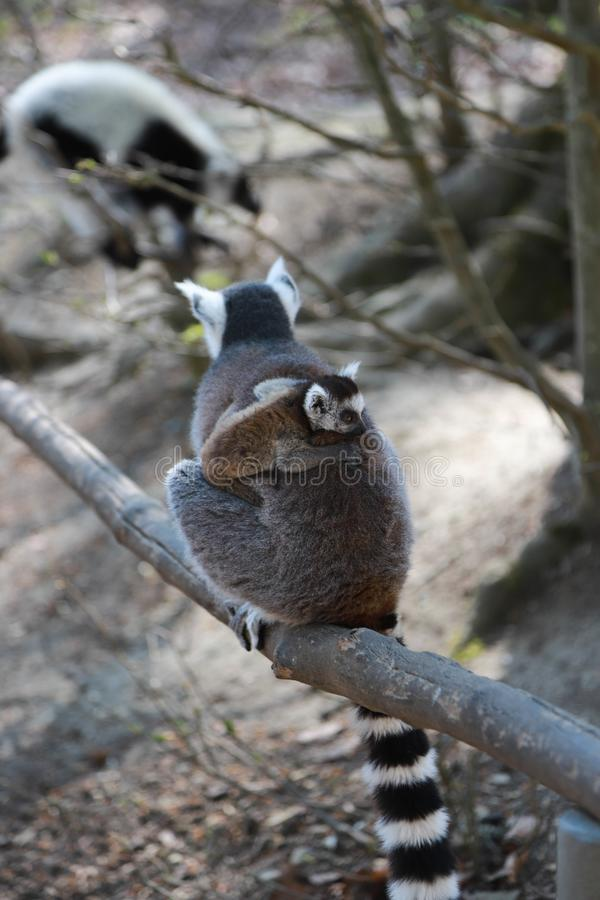 Lémur queue-coupé la queue par maman avec mignon petit bébé sur le dos image stock