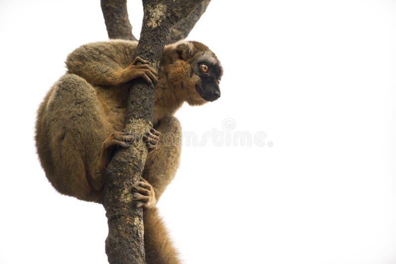 Lémur regardant  image libre de droits