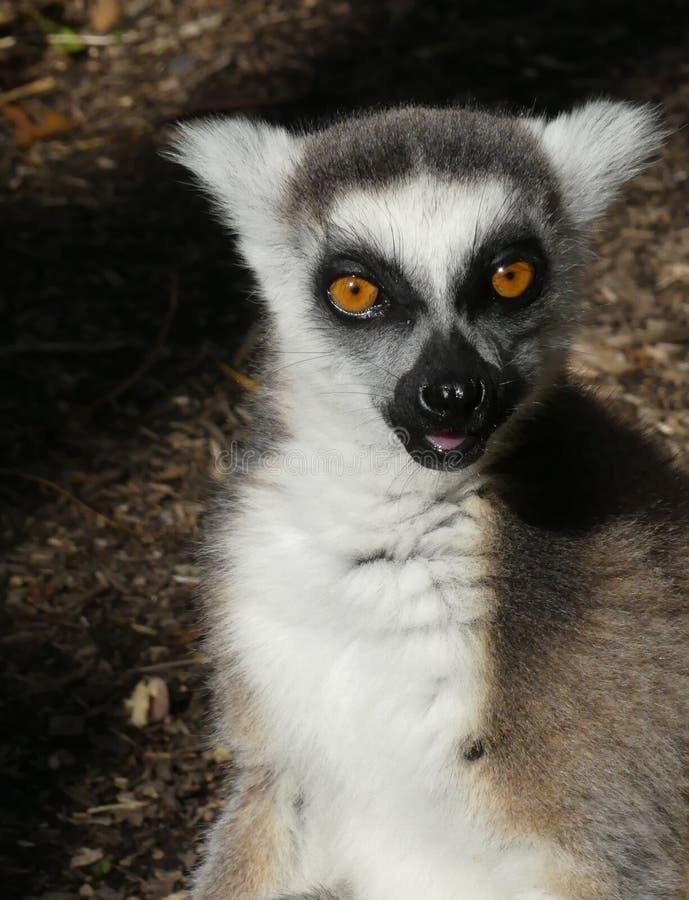 Lémur Ringtailed lindo imagen de archivo libre de regalías