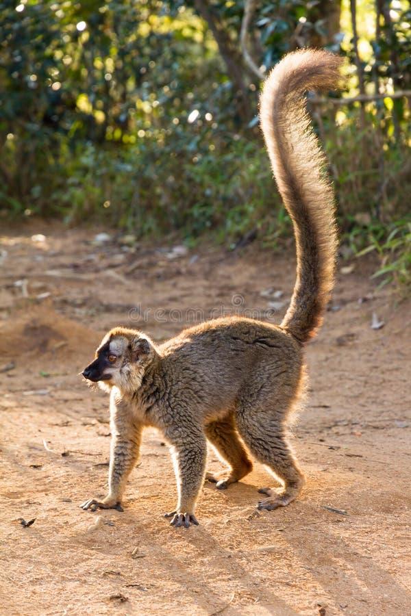lémur Rouge-affronté au sol éclairé à contre-jour photos stock