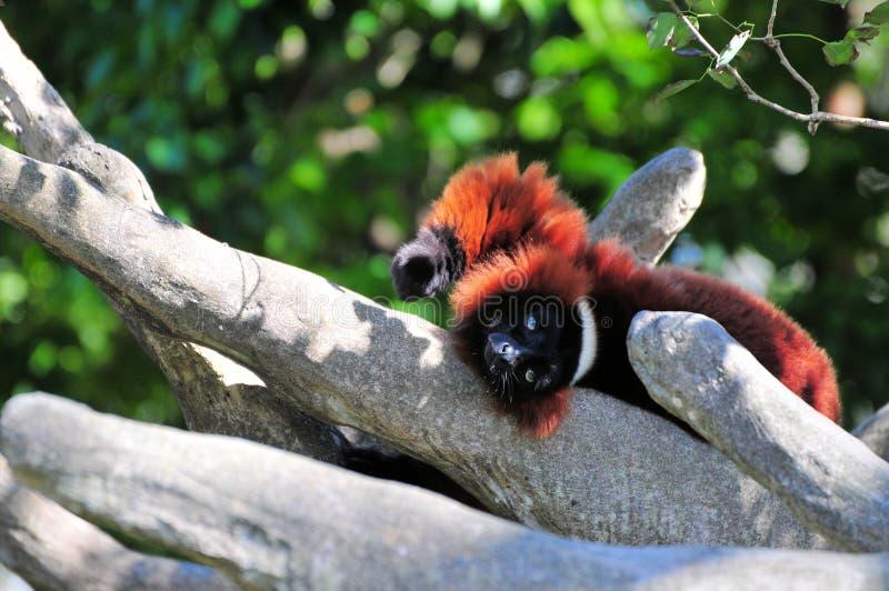 Lémur rouge de Ruffed photographie stock libre de droits