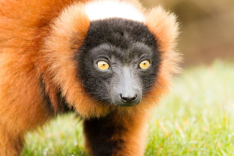 lémur Rouge-gonflé (rubriventer d'Eulemur) photo libre de droits