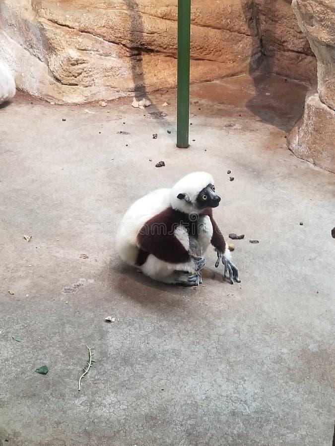 Lémur se reposant dans le plancher photo libre de droits