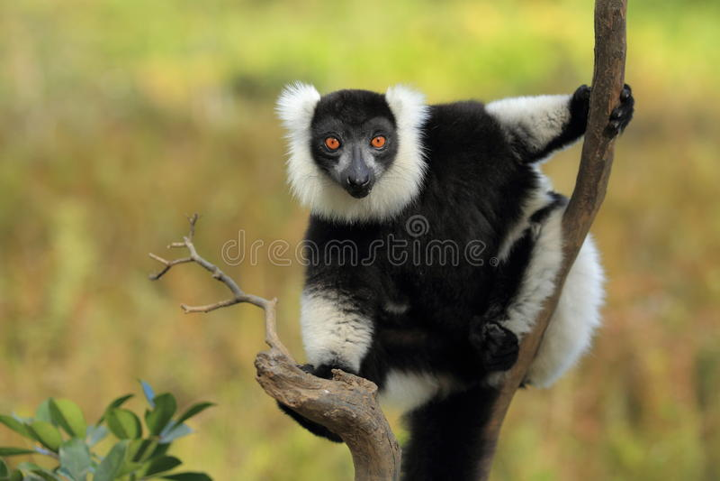 Lémur superado blanco y negro foto de archivo