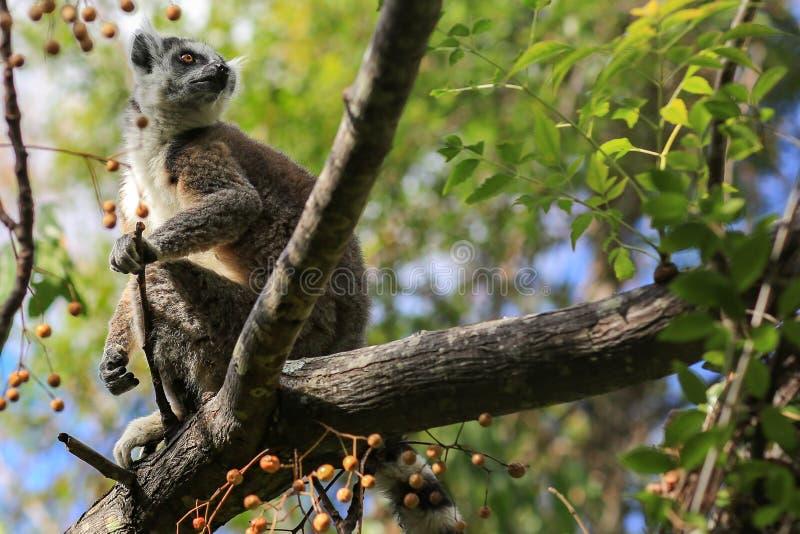 Lémur sur une branche photos libres de droits