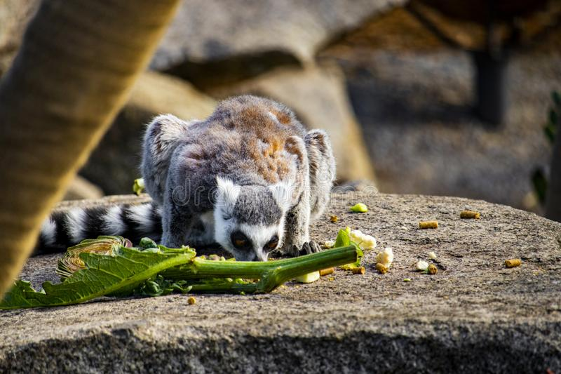 lémur Teinter-coupé la queue mangeant d'une pile de nourriture photographie stock libre de droits
