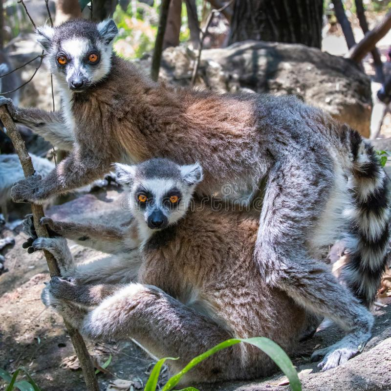 Lémures atados derechos fotos de archivo libres de regalías